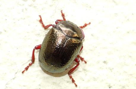 escaravelho dourado