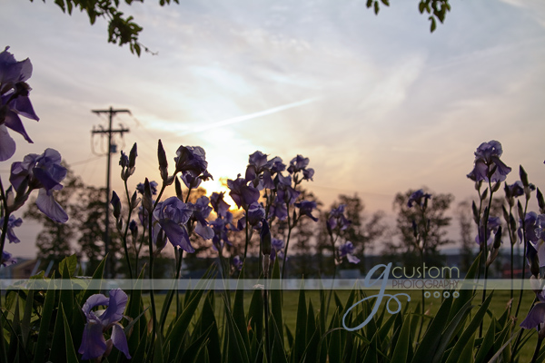 purple irises near sunset