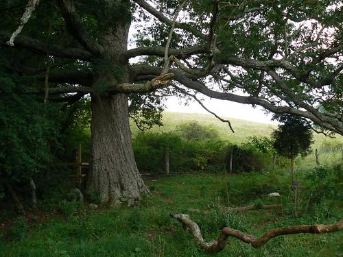 Sinking Creek Mountain - Keffer Oak Minus One Branch