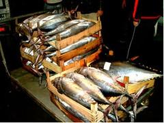 GdF pesce spada
