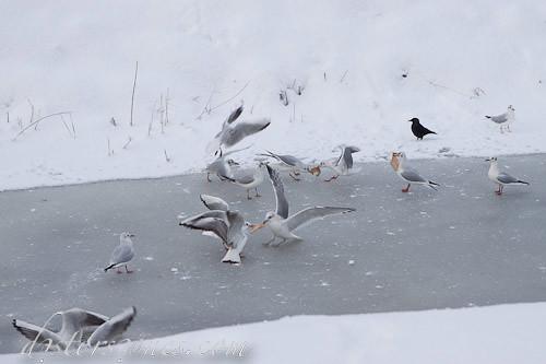 Gaviotas peleándose por pan en el hielo