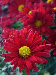 Marguerite rouge