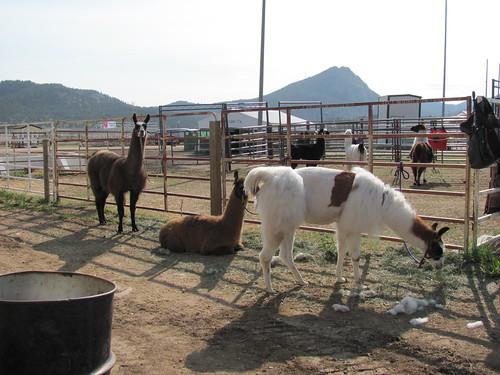 llama's waiting for bath