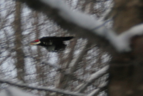 Pileated Woodpecker male departing