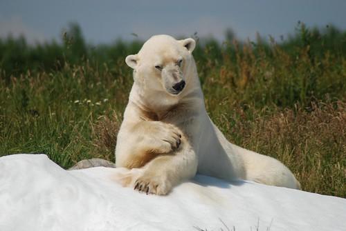 Eisbär Nuuk im Skandinavisk Dyrepark