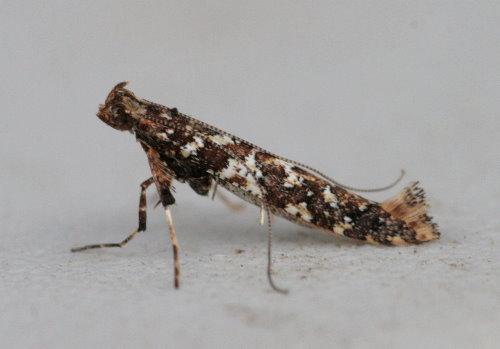 Caloptilia serotinella