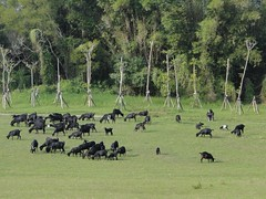 草原上的羊 @ 青青草原