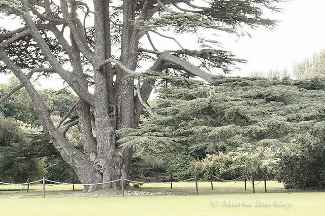 Tree, Malahide Castle, 26 August, 2009