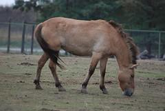 Przewalski-Pferd in der Safari de Peaugres