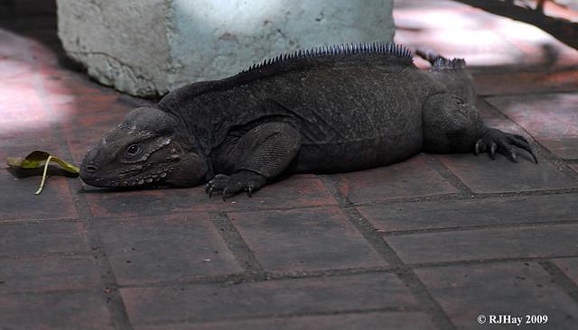 Rhinoceros Iguana,  Parque Nacional Los Tres Ojos, Dominican Republic