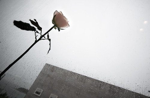 Rose and building