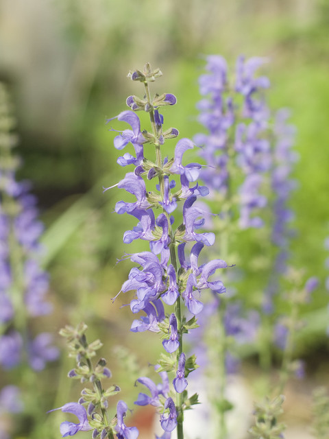 Salvia 'Rhapsody in Blue'