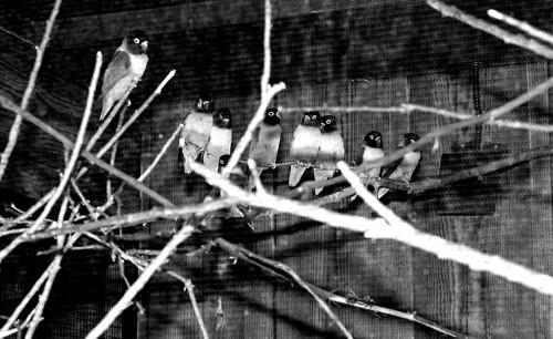 Lovebirds. (Fuji Neopan 400. Nikon F100. Epson V500.)