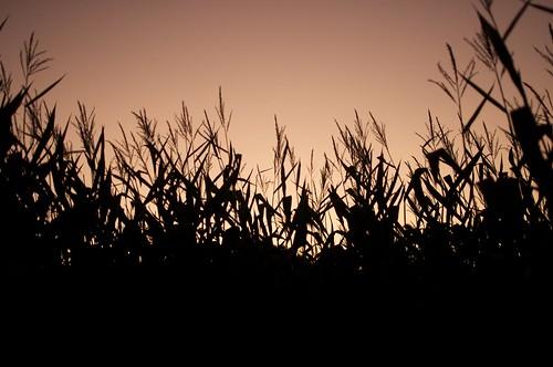 Bose Corn Maze