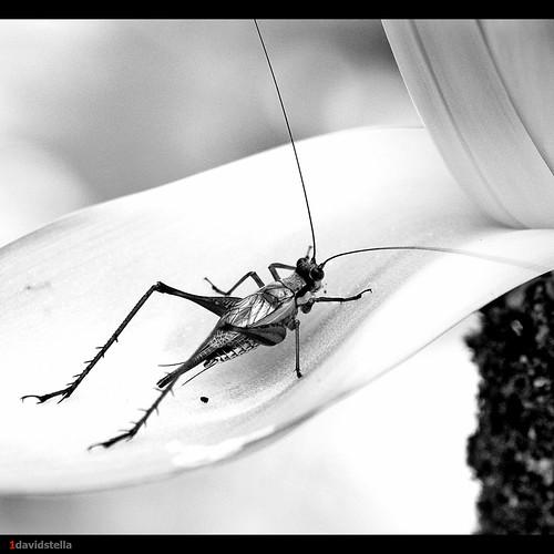 cricket {bw}