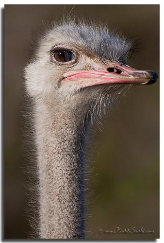 Spiky Ostrich