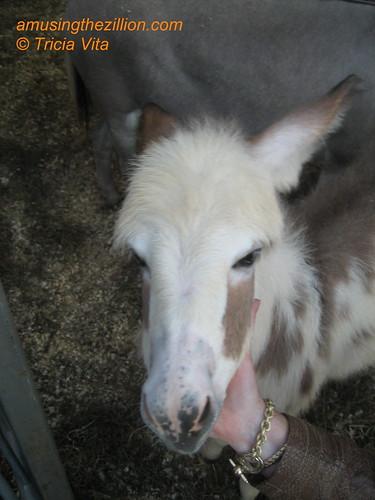 Born in Coney Island: Miniature Donkey named Cyclone. Photo © Tricia Vita/me-myself-i via flickr