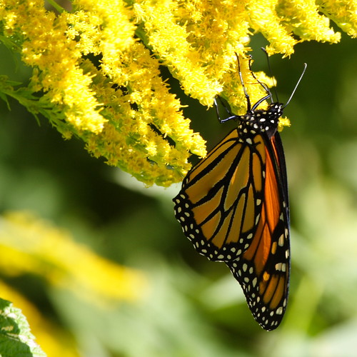 Another Monarch
