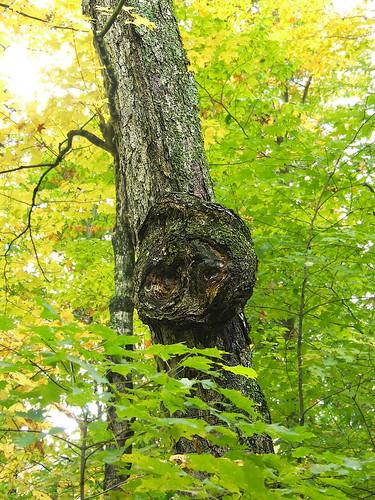 sugar maple burl 3