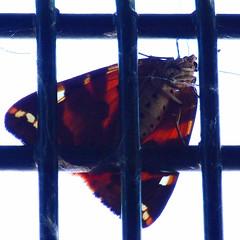 Jersey Tiger Moth Underside