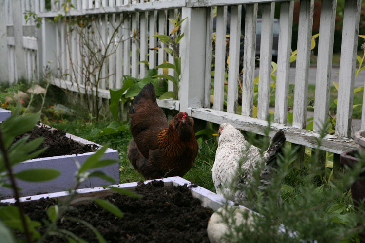 proud chickens