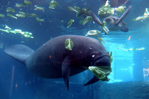 The Manatees' Lunch