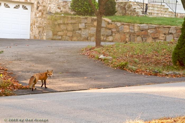 Fox Found