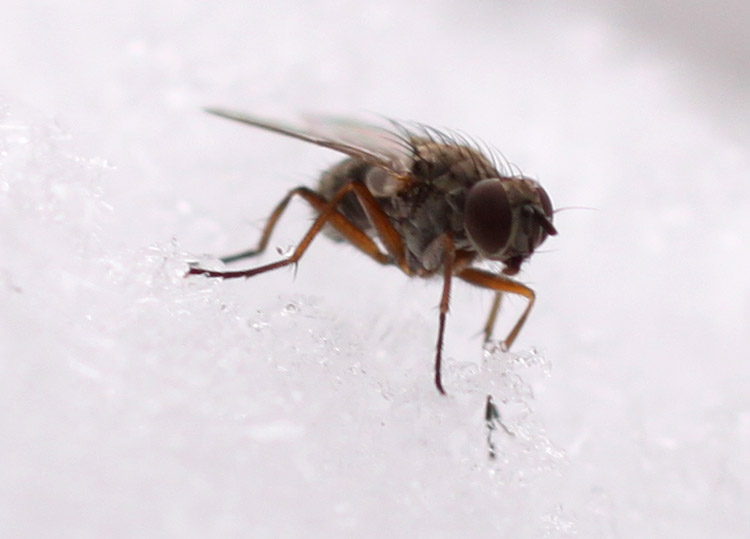 Macro Fly in Snow