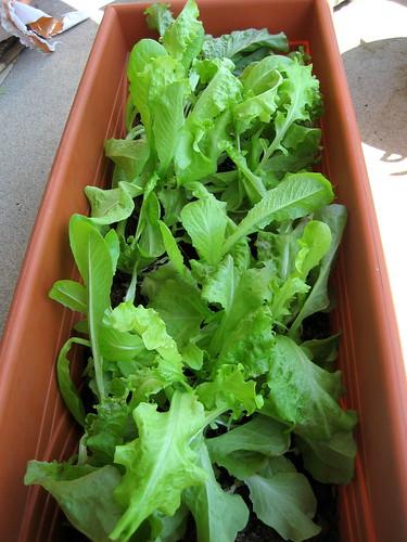lettuce, july 10
