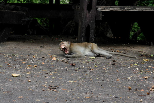 yawning monkey. gross.