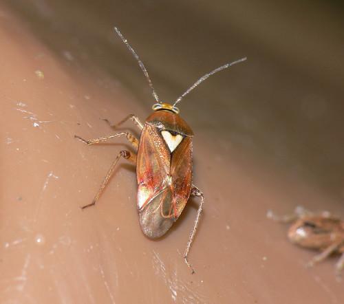 Bug - Lygus cf. pratensis