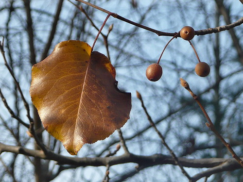Callery pear leaf and fruit