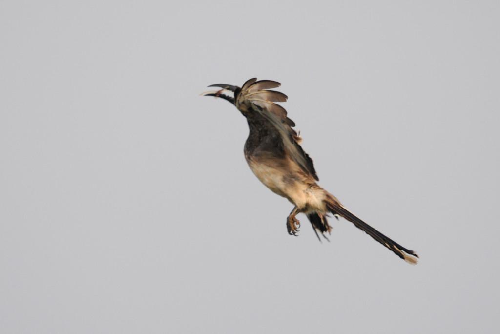 Mystery Bird: African Grey Hornbill, Tockus nasutus