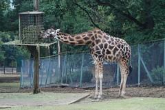 Uganda Giraffe in der Safari de Peaugres