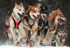 Perros Iditarod 2010