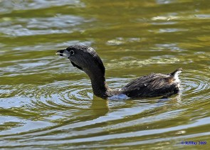 Pied-Billed Grebe - Punta Cana 2009
