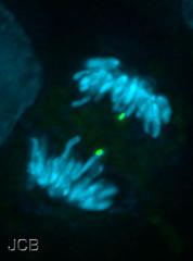 Chromosome segregation during mitosis