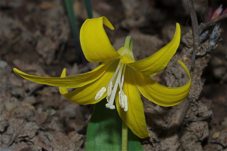 Yellow Glacier Lily