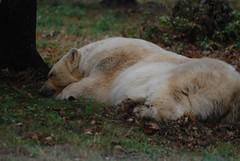 Eisbärin Teddy in der Safari de Peaugres