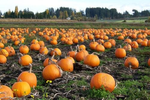Pumpkin Patch 100_9296 by Kam