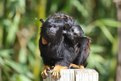 Rothandtamarin mit Jungtier im Zoo de Doué-la-Fontaine