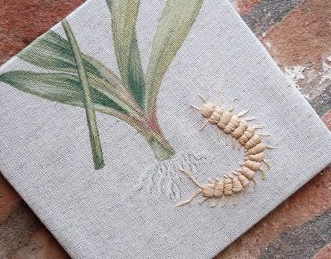 Mille-pattes  -  Centipede