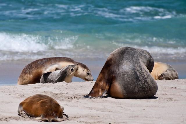 Australian Sea Lions