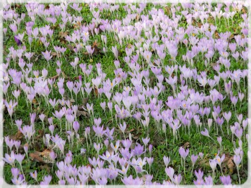Blended Crocuses