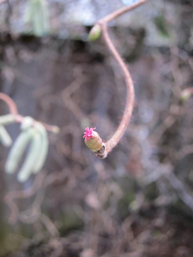 Contorted filbert flower