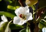 And a ladybug on a pear tree.