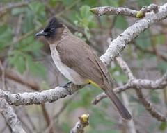 Dark-capped Bulbul (Pycnonotus barbatus tricolor)