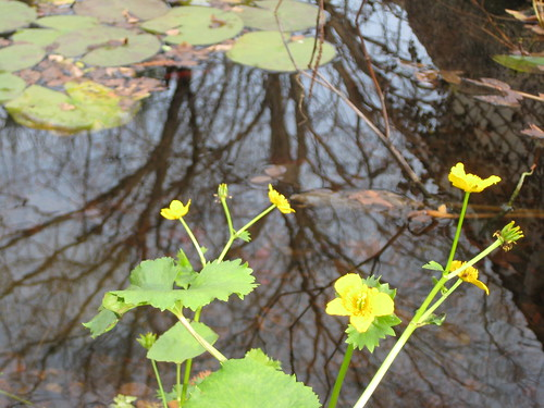 Marsh marigold in November