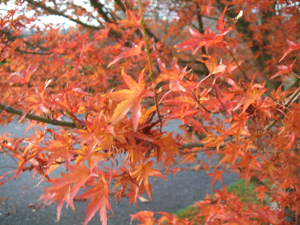 Unknown Japanese maple variety in fall - lovely