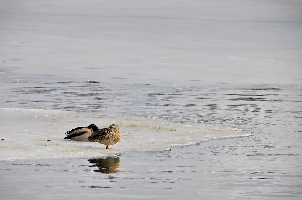 Freezing ducks